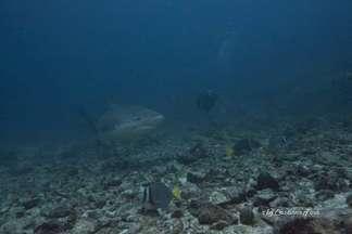 Bullenhai auf Tauchsafari Islas Murcielagos (Bat islands)