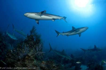 Garden of Queens offer some of the best Caribbean diving (Caribbean Reef sharks)