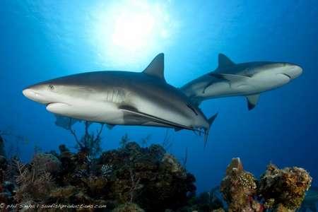 Tauchen mit karibischen Riffhaien in Jardines de la Reina Kuba