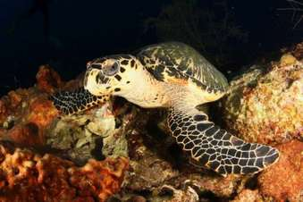 Sea turtles are very common in the healthy reefs of the gardens of the Queen national park