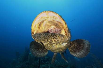 Giant Grouper at the Garden of the Queens National park Cuba