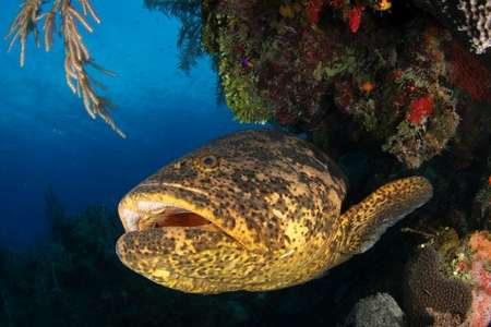 In Jardines de la Reina können grosse Zackenbarsche angetroffen werden