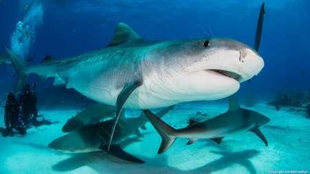Haifütterungen in den Bahamas und Tigerhaie in Tigerbeach