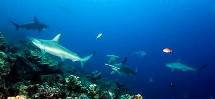 Scuba diving with scalloped hammerhead sharks at the Galapagos islands Ecuador