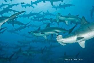 Schooling Hammerhead sharks in Darwin and Wolf Galapagos islands