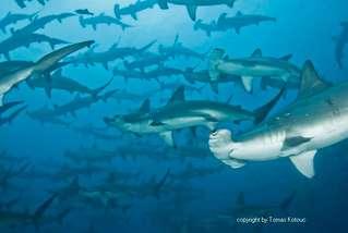 Hammerhaischulen in Wolf und Darwin Galapagos Inseln Ecuador