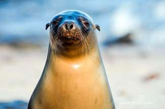 Observation of Galapagos sea lions