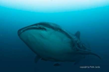 Whalesharks at Darwin and Wolf Galapagos islands