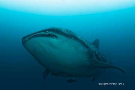 Tauchen mit Walhaien in Darwin und Wolf Galapagos Inseln