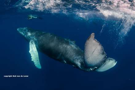 Humpback whales appear in Socorro from December to April