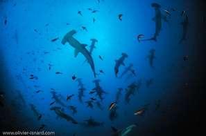 scooling scalloped hammerhead sharks in Gringa Malpelo