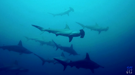 Scalloped Hammerhead sharks in Malpelo february 2016