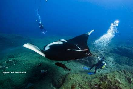 Scuba diving with Giant Manta rays at san Benedicto Socorro islandsr