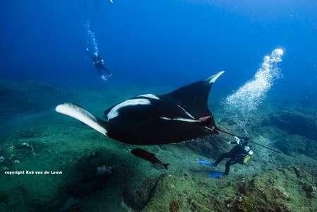gigantische und zutrauliche Pazifik Manta Rochen beim Tauchen in Socorro