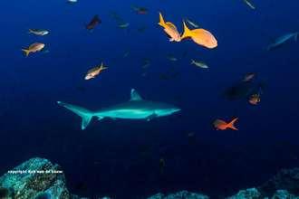 Silvertip shark at Socorro - Revillegagigedo Archipelago