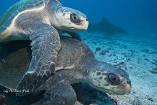 Green Turtles at the Islas Murcielagos - Bat islands