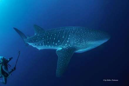 Whale shark at Punta Maria in Cocos island