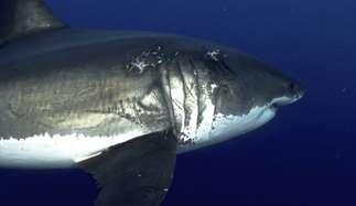 Grosser weisser Hai in Guadalupe