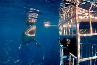 Käfigtauchen mit weissen Haien in Guadalupe