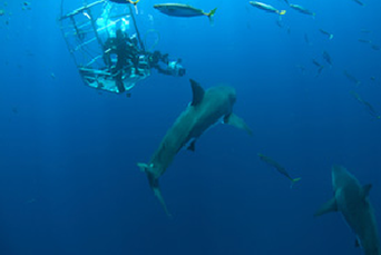Deep cage Solmar V Guadalupe