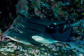 Whitetip Reef sharks Roca Partida